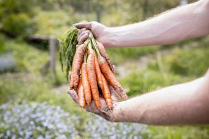 Man harvesting carrots in vegetable gardenの写真素材 [FYI04323973]