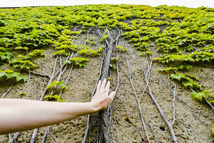 Personal perspective woman touching ivy roots growing up wallの写真素材 [FYI04324009]