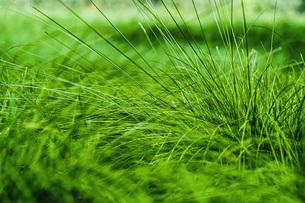 Close up vibrant green grassの写真素材 [FYI04324010]
