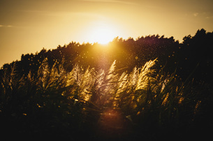 Sunset over silhouetted trees and plantsの写真素材 [FYI04324016]