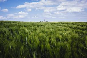 Idyllic, rural green wheat crop and landscape, Brandenburg, Germanyの写真素材 [FYI04324090]