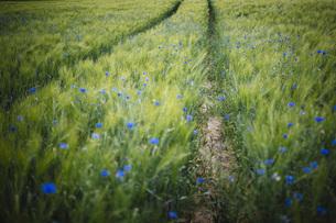 Blue wildflowers growing in idyllic, rural green wheat fieldの写真素材 [FYI04324092]