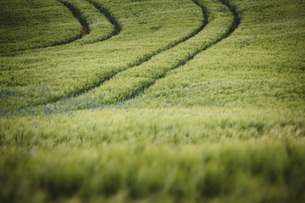 Idyllic, rural green wheat field with purple wildflowers, Brandenburg, Germanyの写真素材 [FYI04324093]