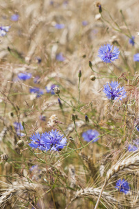 Close up purple wildflowers growing in rural wheat fieldの写真素材 [FYI04324104]