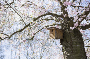 Birdhouse in idyllic spring cherry blossom treeの写真素材 [FYI04324118]