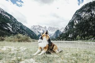 Dog barking in valley below mountains, Drei Zinnen Nature Park, South Tyrol, Italyの写真素材 [FYI04324145]