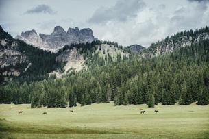 Horses in idyllic green valley, Drei Zinnen Nature Park, South Tyrol, Italyの写真素材 [FYI04324146]
