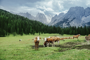 Cows and horses grazing in lush valley below mountains, Drei Zinnen Nature Park, South Tyrol, Italyの写真素材 [FYI04324147]