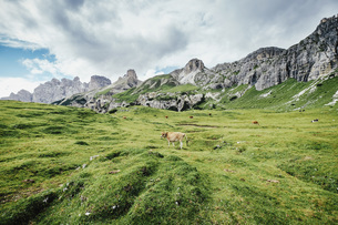 Cow grazing in lush green valley below rugged mountains, Drei Zinnen Nature Park, South Tyrol, Italyの写真素材 [FYI04324150]