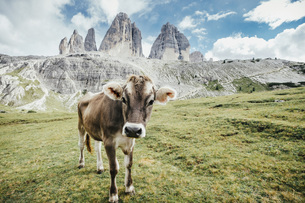 Portrait cow in green field below rugged mountains, Drei Zinnen Nature Park, South Tyrol, Italyの写真素材 [FYI04324151]