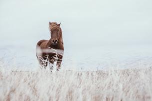 Icelandic brown horse in field, Reykjanesbaer, Icelandの写真素材 [FYI04324174]
