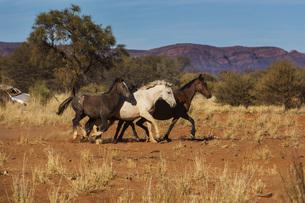 Wild horses running in sunny desert, Haasts Bluff, Northern Territory, Australiaの写真素材 [FYI04324182]
