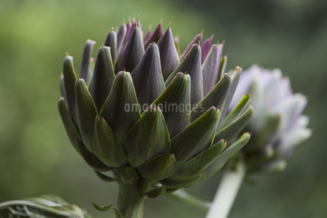 Close up artichoke plantsの写真素材 [FYI04324198]