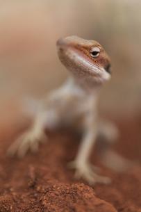 Close up curious geckoの写真素材 [FYI04324201]