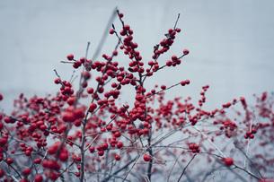 Red berries growing on winter plantの写真素材 [FYI04324205]