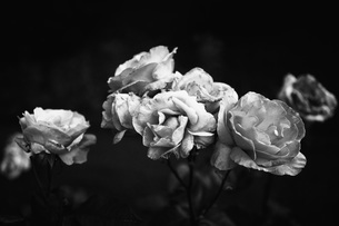 Black and white decaying rosesの写真素材 [FYI04324210]