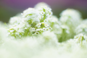 Close up delicate white flowersの写真素材 [FYI04324258]