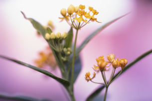 Close up yellow flowersの写真素材 [FYI04324259]
