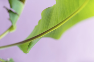 Close up vibrant green leaf and stemの写真素材 [FYI04324260]