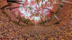 平林寺の紅葉のワイド風景写真の写真素材 [FYI04330419]