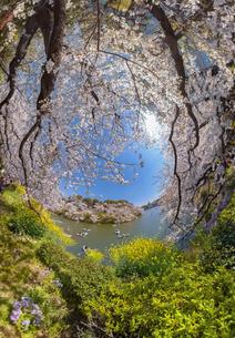 満開の桜の時期の千鳥が淵のワイド風景写真の写真素材 [FYI04330426]