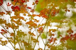 紅葉の枝葉の写真素材 [FYI04330552]