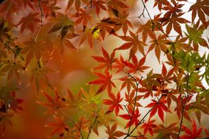 紅葉のモミジの写真素材 [FYI04330566]