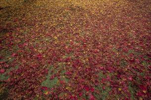 モミジの絨毯の写真素材 [FYI04330568]