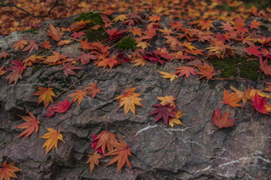 モミジの落ち葉の写真素材 [FYI04330569]
