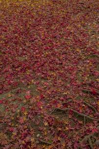 モミジの絨毯の写真素材 [FYI04330570]