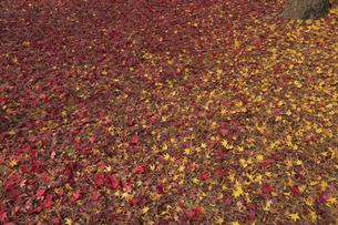 モミジの絨毯の写真素材 [FYI04330571]