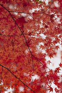 紅葉のモミジの写真素材 [FYI04330572]