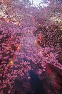 目黒川の桜並木の夜景の写真素材 [FYI04330631]