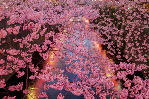 目黒川の桜並木の夜景の写真素材 [FYI04330633]