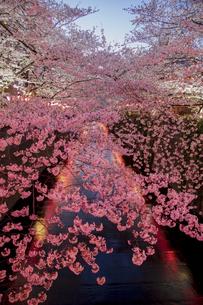 目黒川の桜並木の夜景の写真素材 [FYI04330634]
