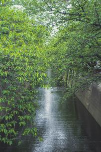 新緑の目黒川の写真素材 [FYI04330659]
