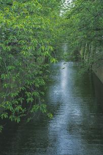 新緑の目黒川の写真素材 [FYI04330661]