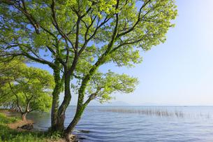 琵琶湖と新緑の木 滋賀県の写真素材 [FYI04330712]
