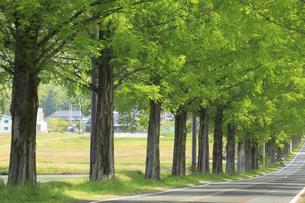メタセコイア並木の新緑 滋賀県の写真素材 [FYI04330714]