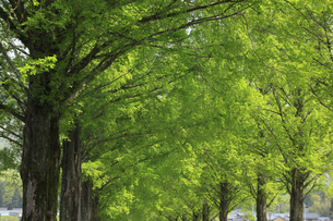 メタセコイア並木の新緑 滋賀県の写真素材 [FYI04330715]