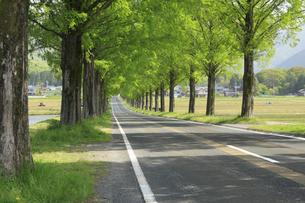メタセコイア並木の新緑 滋賀県の写真素材 [FYI04330716]