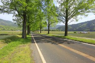 メタセコイア並木の新緑 滋賀県の写真素材 [FYI04330717]