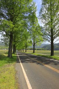 メタセコイア並木の新緑 滋賀県の写真素材 [FYI04330718]