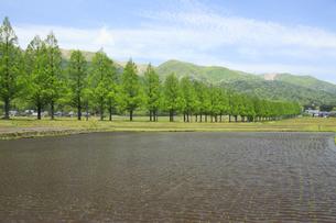 メタセコイア並木と水田 滋賀県の写真素材 [FYI04330719]