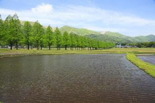 メタセコイア並木と水田 滋賀県の写真素材 [FYI04330720]