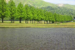 メタセコイア並木と水田 滋賀県の写真素材 [FYI04330721]