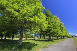 メタセコイア並木と青空 滋賀県の写真素材 [FYI04330723]