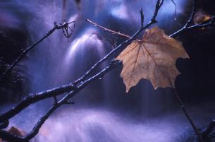 Maple leaf on branchの写真素材 [FYI04332671]