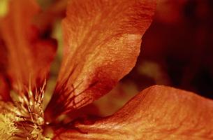 Clematis, close-upの写真素材 [FYI04332709]