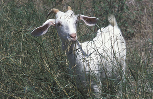 White goat near Vitalades village, Corfu Greeceの写真素材 [FYI04332726]